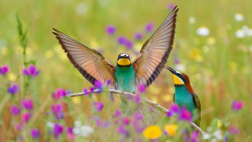 「ヨーロッパハチクイ」スペイン, エストレマドゥーラ州
