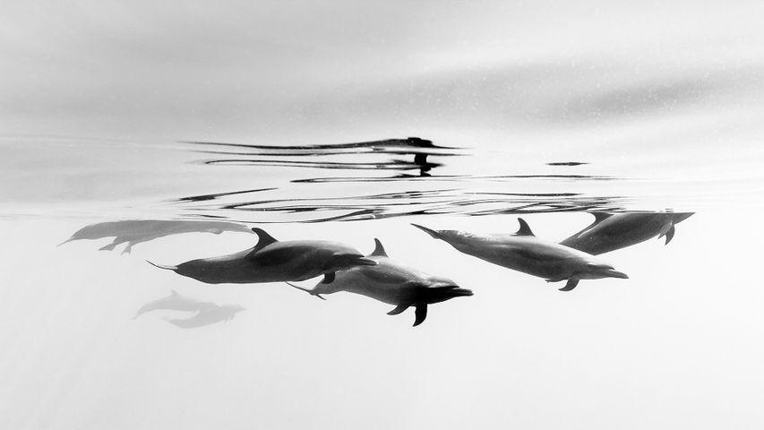 「水中のマダライルカ」メキシコ, イスタパ沖