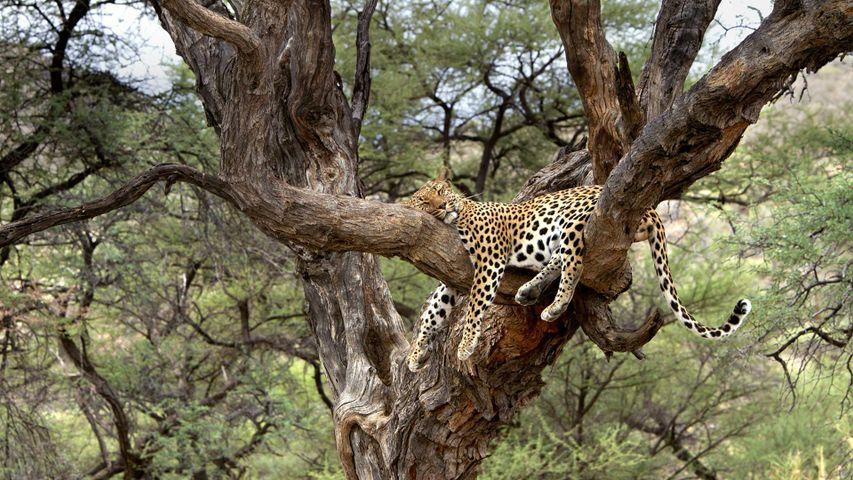 「ヒョウの居眠り」ナミビア