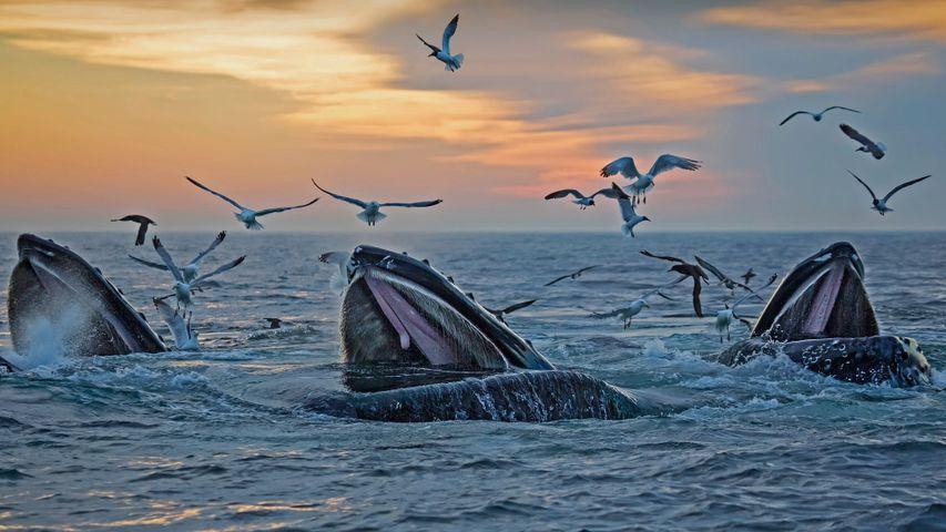「マサチューセッツ州沖のザトウクジラ」米国