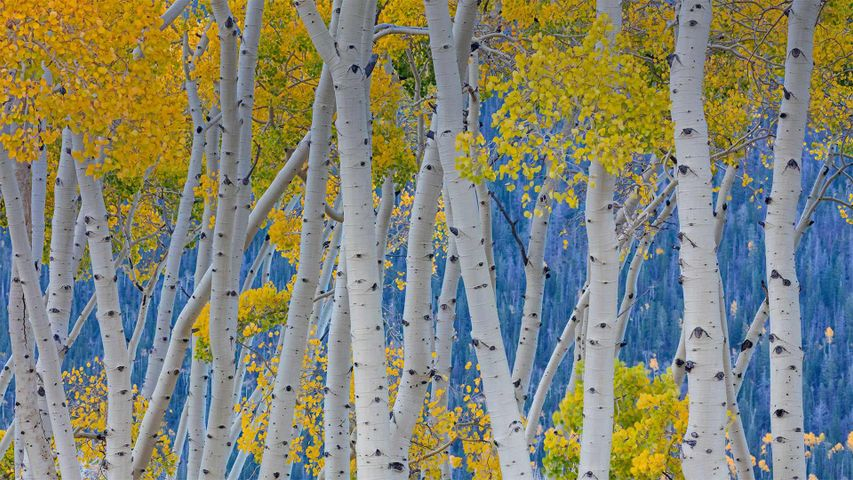 「パンドの森」米国ユタ州, フィッシュレイク国立森林公園
