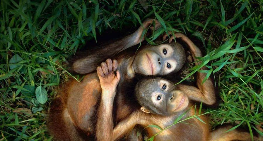 「オランウータンの子供」マレーシア, ボルネオ島