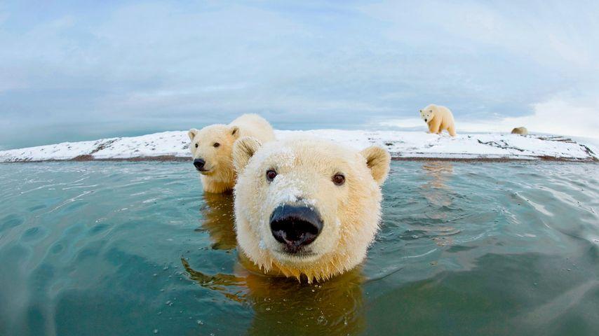 「ホッキョクグマ」アラスカ, 北極野生生物国家保護区