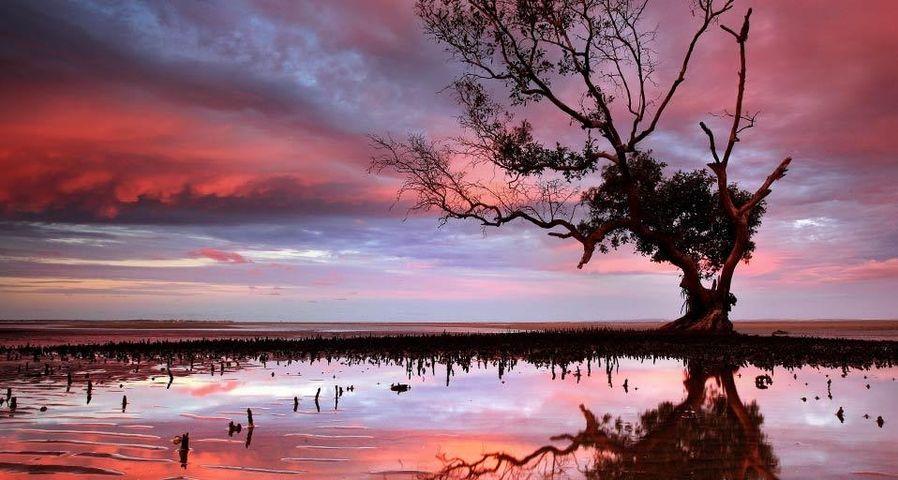 「干潟のマングローブ」オーストラリア, クイーンズランド州