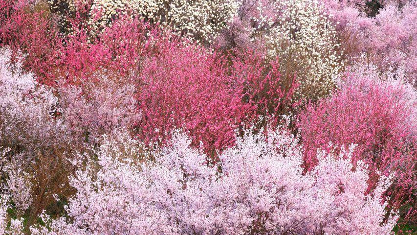 「花見山公園」福島, 福島市