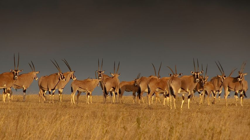 「オリックスの群れ」ケニア, ソリオ・ゲーム・ランチ