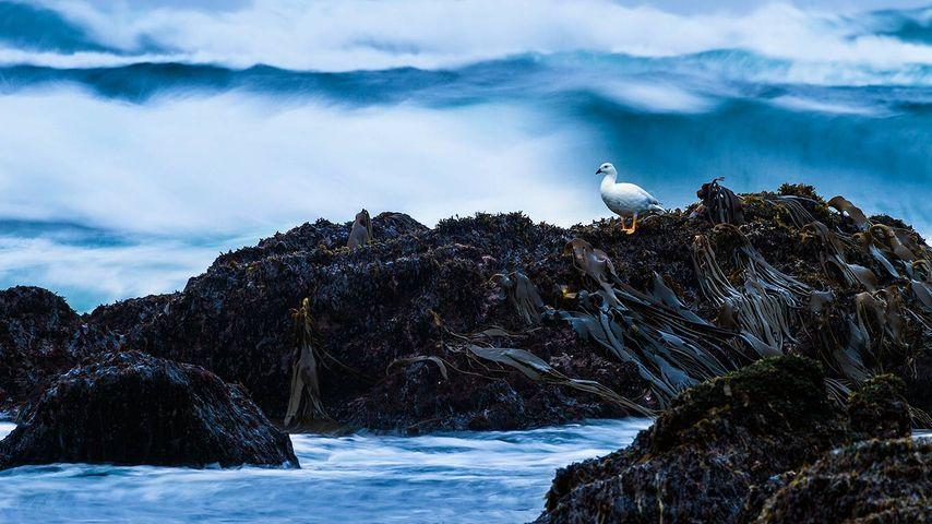 「チロエ島のシロコバシガン」チリ