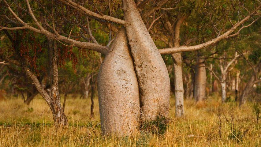 「オーストラリアバオバブ」西オーストラリア, キンバリー地域