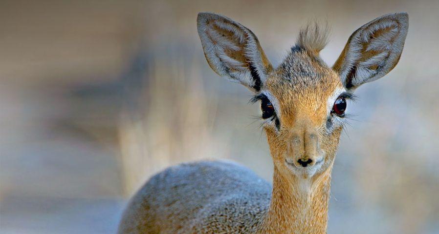 「ディクディク」ナミビア, エトーシャ国立公園