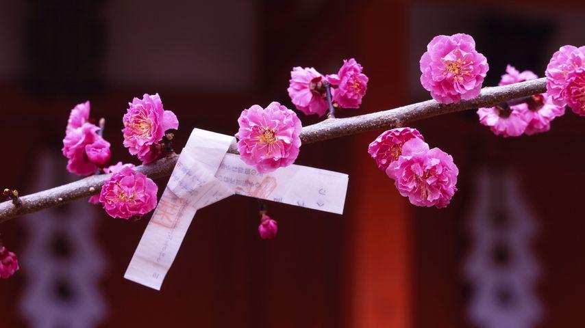 「梅とおみくじ」京都, 北野天満宮