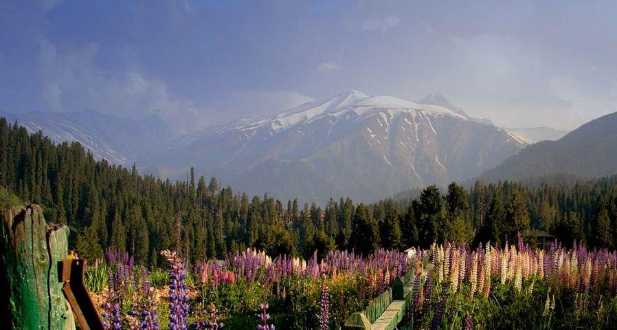 「グルマルグの谷の花々」インド, ジャンム・カシミール州