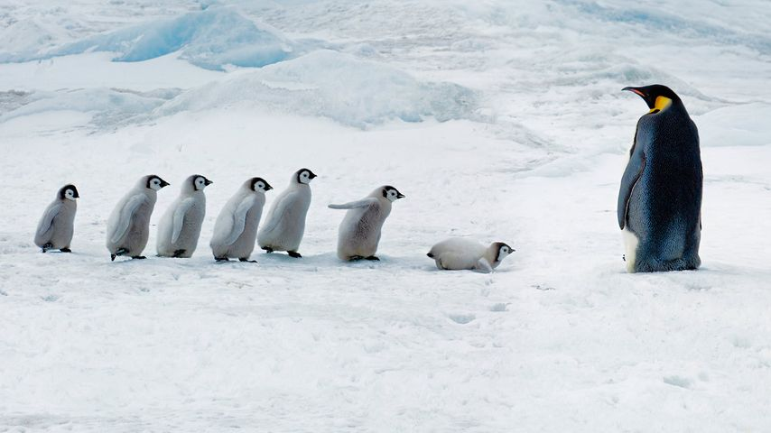「コウテイペンギンの学校」南極, スノー・ヒル島