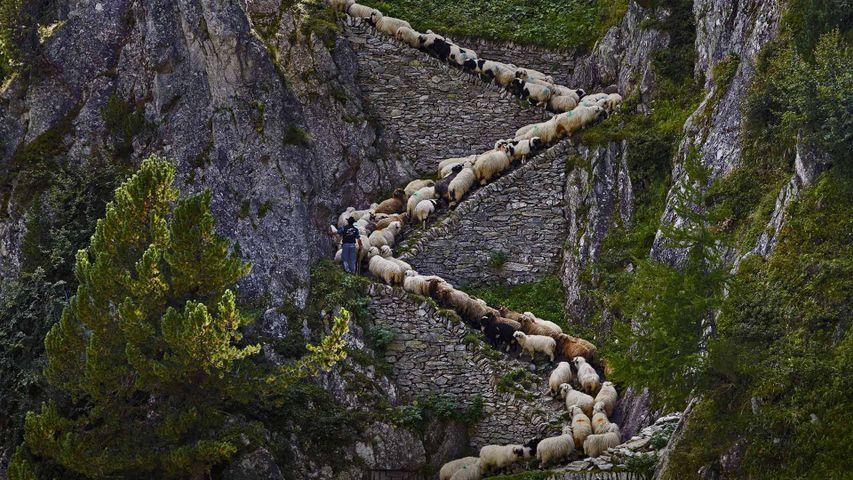 「ヴァレー・ブラックノーズ・シープの群れ」スイス, ヴァレー州