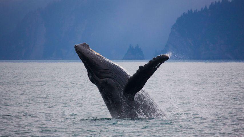 「ザトウクジラのブリーチ」アメリカ, アラスカ