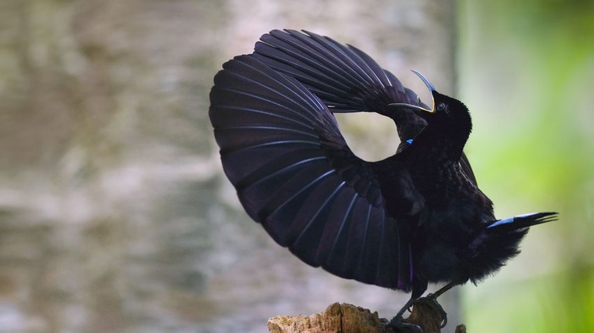 「コウロコフウチョウ」オーストラリア, クィーンズランド