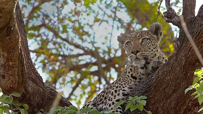 「木の上のヒョウ」ボツワナ, モレミ野生動物保護区