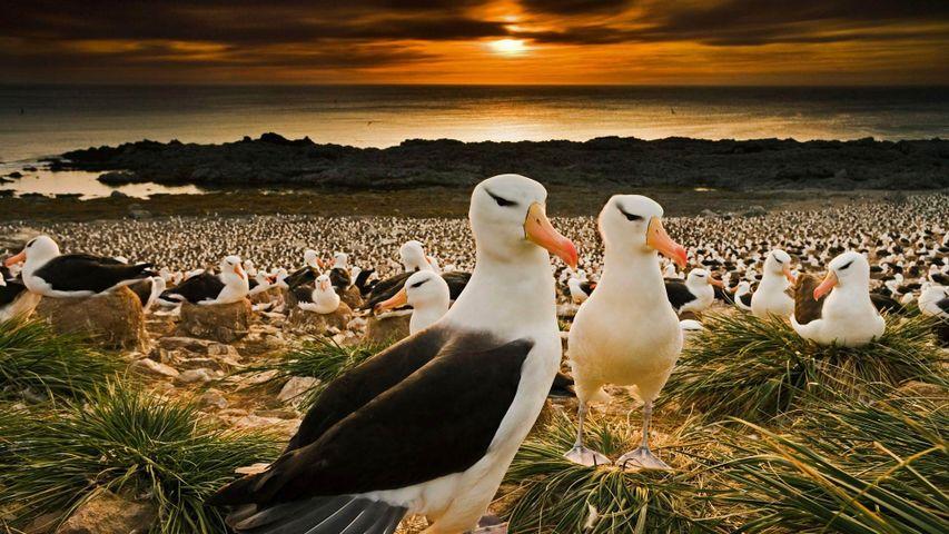 「マユグロアホウドリ」イギリス領, フォークランド諸島