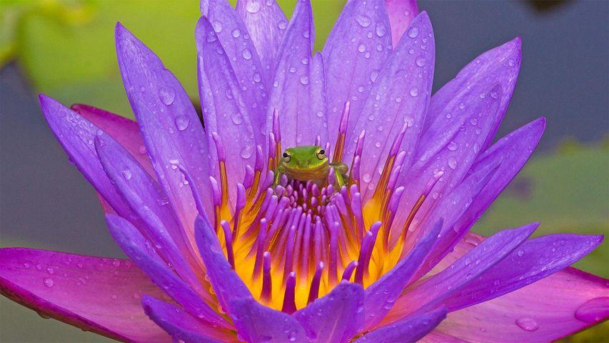 「アメリカアマガエルと睡蓮の花」米国フロリダ州, キシミー湖