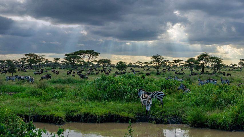 「シマウマの群れ」タンザニア, セレンゲティ国立公園