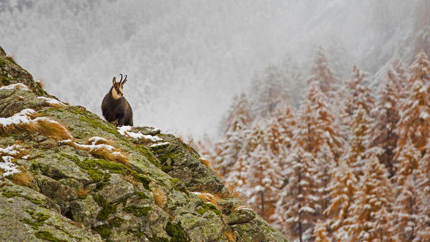 「冬山のシャモア」イタリア, グラン・パラディーゾ