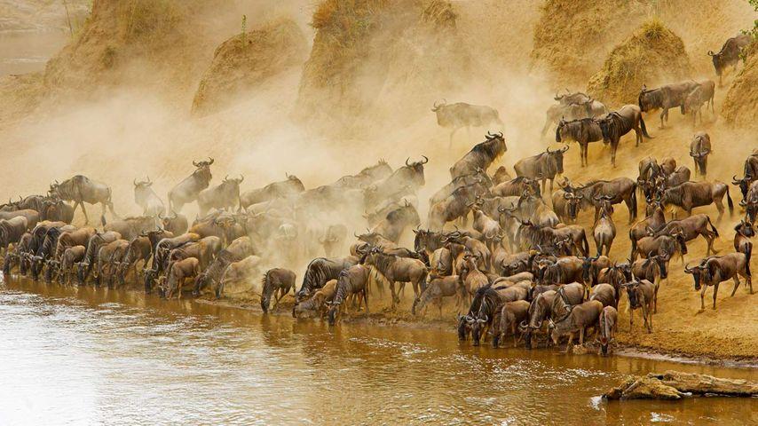 「オグロヌーの群れ」ケニア, マサイマラ国立保護区