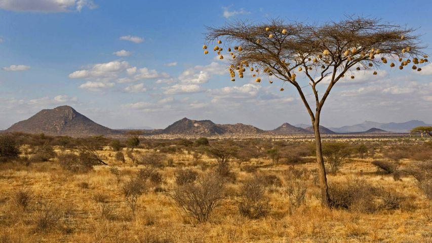 「アカシアとハタオリドリの巣」ケニア, サンブル国立保護区