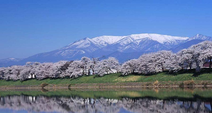 「一目千本桜」宮城, 大河原町