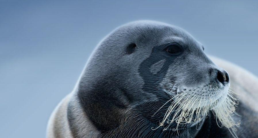 「アゴヒゲアザラシ」ノルウェー, スヴァールバル諸島 ©
