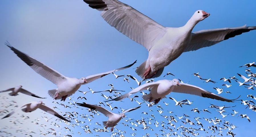 「ハクガンの群れ」アメリカ, ニューメキシコ, ボスケ・デル・アパッチ野生動物保護区