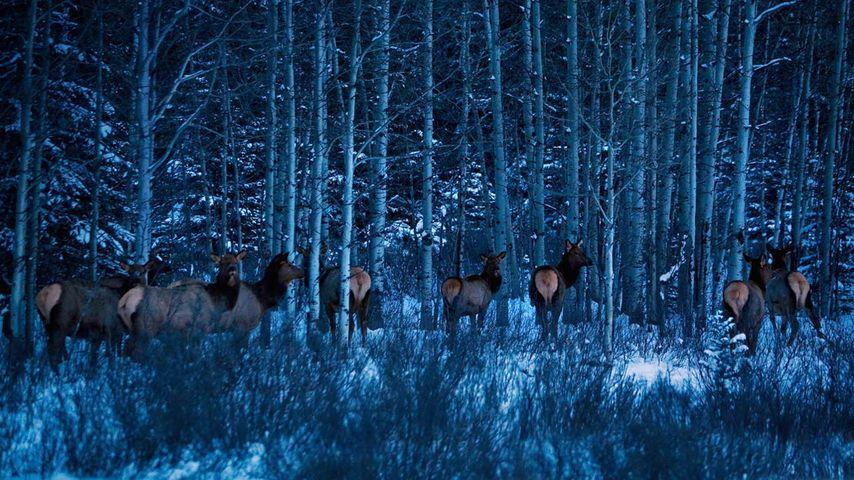 「ヘラジカの群れ」カナダ, アルバータ州