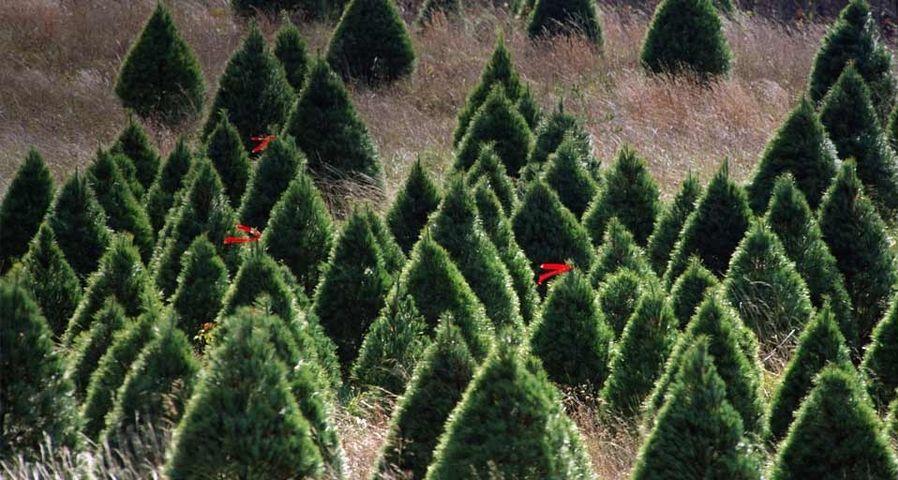 「クリスマスツリー畑」
