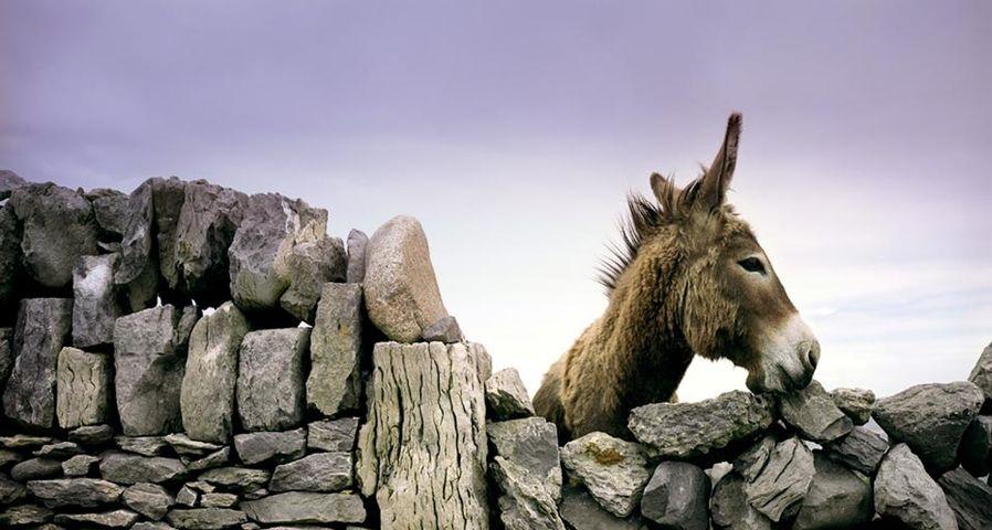 「石垣から覗くロバ」アイルランド