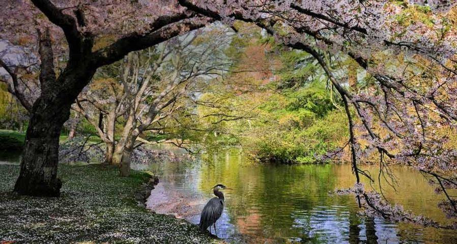 「桜とオオアオサギ」カナダ, ブリティッシュコロンビア州
