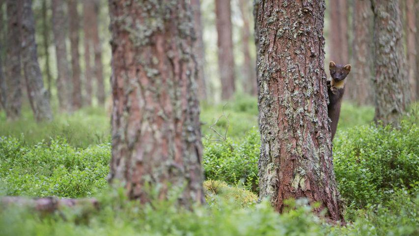 「木陰から覗くマツテン」イギリス, スコットランド