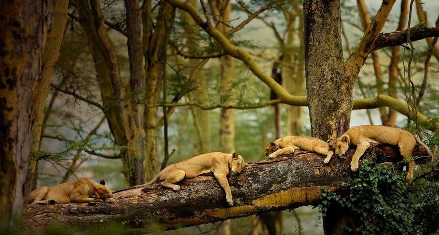 「居眠りライオン」