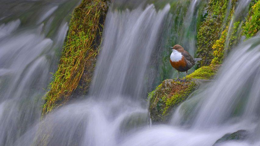 「ラスキル川のムナジロカワガラス」英国ダービーシャー州