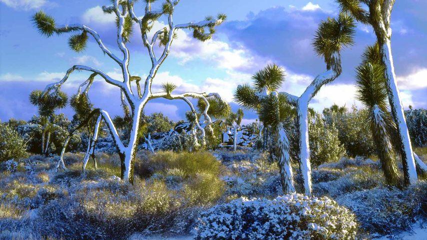 「ジョシュア・ツリー国立公園」アメリカ, カリフォルニア州