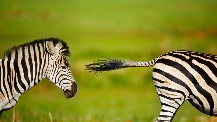 「バーチェルサバンナシマウマ」南アフリカ, リエットブレイ自然保護区