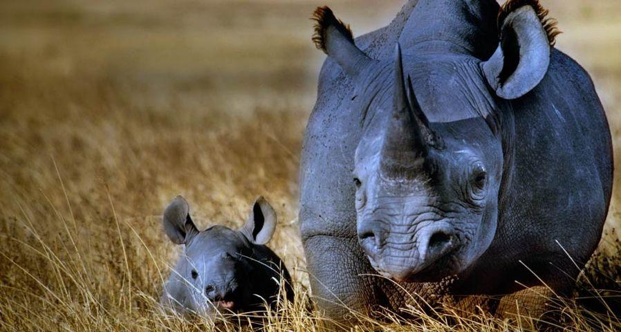 「黒サイの親子」タンザニア, ンゴロンゴロ自然保護区