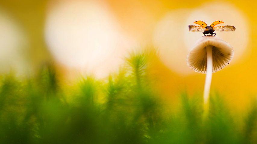 「キノコに留まるテントウムシ」オランダ, アーネム