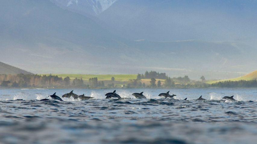 「ハラジロカマイルカの群れ」ニュージーランド, カイコウラ