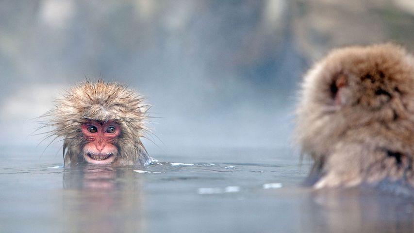 「温泉ザル」長野, 地獄谷野猿公苑