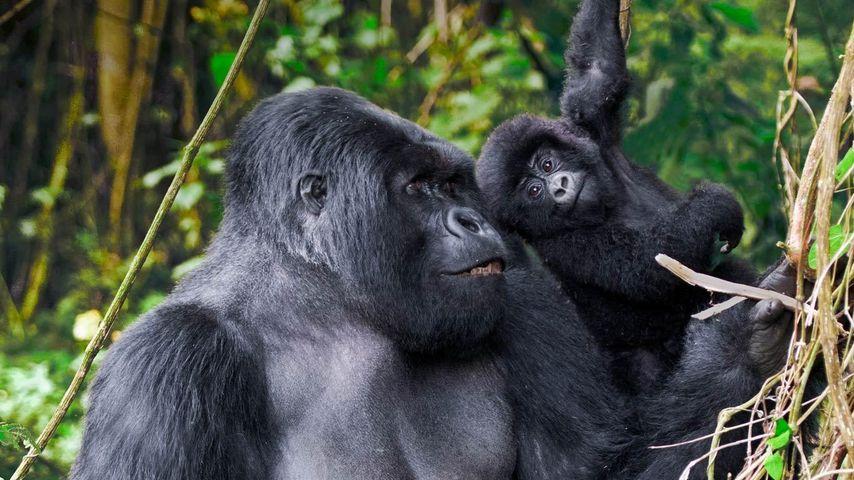 「ゴリラの父子」ルワンダ, ヴォルカン国立公園