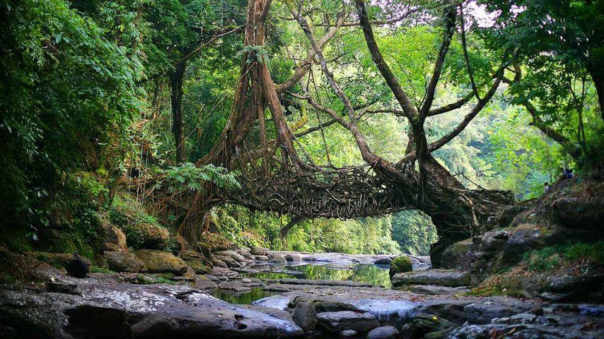 「生きている橋」インド, メガラヤ州
