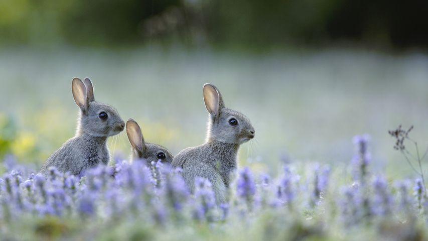 「アナウサギの子どもたち」フランス
