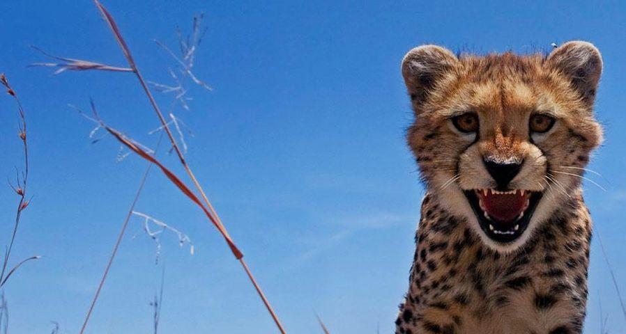 「チーターの子供」ケニア, マサイマラ国立保護区