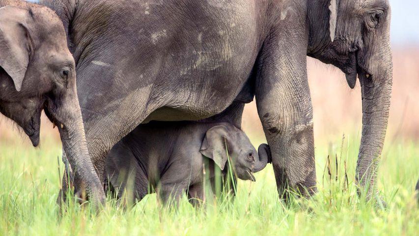 「アジアゾウの家族」インド, ジム・コルベット国立公園