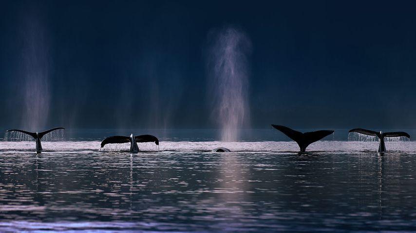 「ザトウクジラ」アメリカ, アラスカ