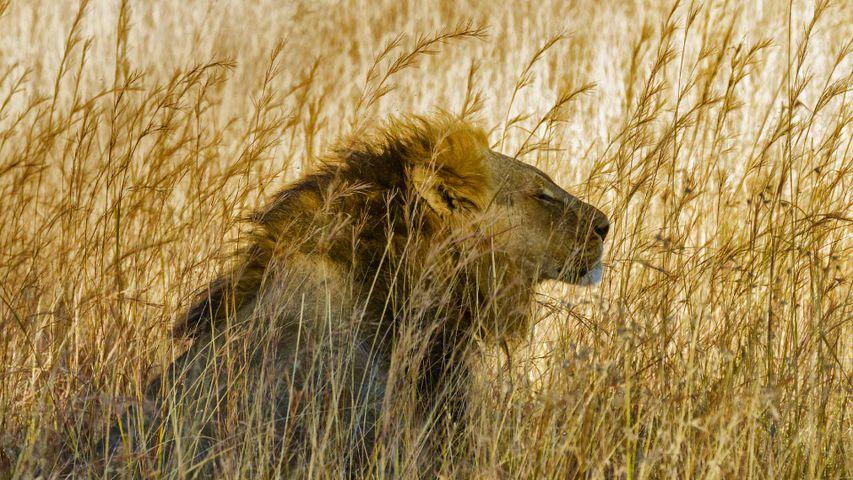 「ライオン」ジンバブエ, ワンゲ国立公園