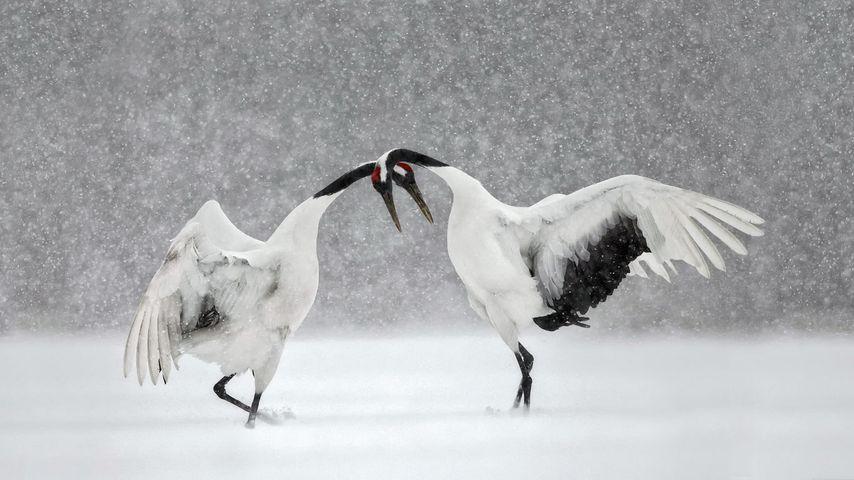 「タンチョウの求愛ダンス」北海道